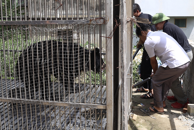 Moon bear owned by drug lord rescued in northern Vietnam - 1