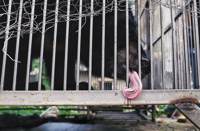 Moon bear owned by drug lord rescued in northern Vietnam - 2