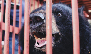 Moon bear owned by drug lord rescued in northern Vietnam