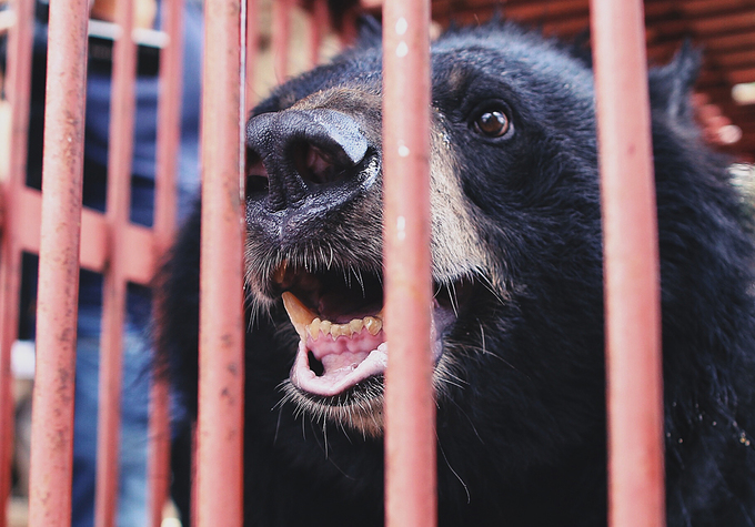 Moon bear owned by drug lord rescued in northern Vietnam - 5