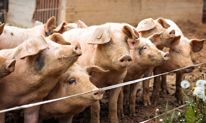 Only three Vietnam provinces free of African swine fever