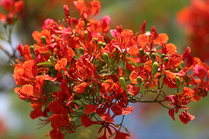 Flamboyant blooms paint the town red in Hue - 5