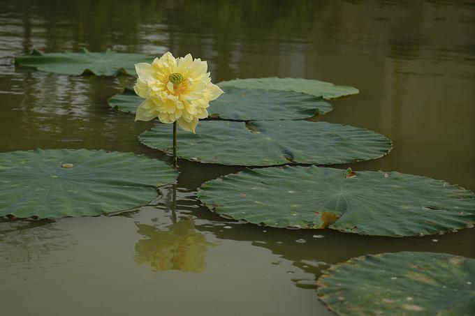 Vietnam's rare lotus species - 1