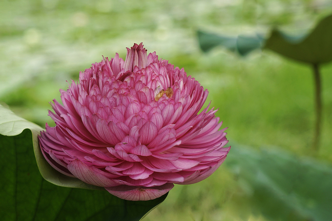 Vietnam's rare lotus species - 2