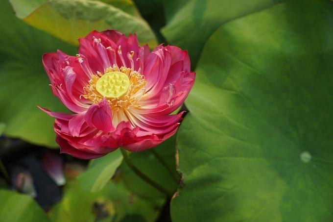 Vietnam's rare lotus species - 6