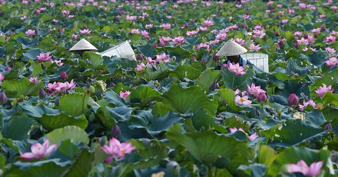 Vietnam's rare lotus species - 7