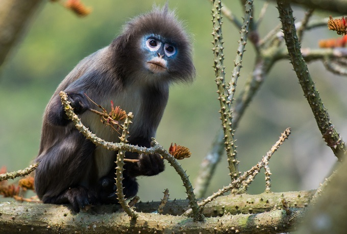 The Phayres leaf monkey is native to South and Southeast Asia. Photo by Shutterstock/Ezaz ahmed Evan
