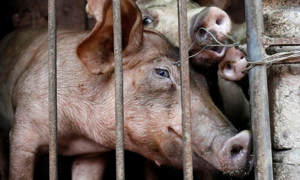 Vietnam reports initial success in creating African swine fever vaccine