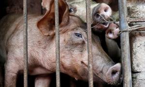 Vietnam reports initial success in creating African swine fever vaccine
