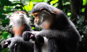 Conservation center urges $4 million douc langur protection project in Vietnam