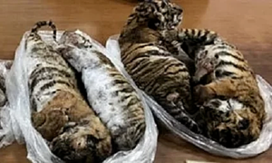 Seven frozen tiger carcasses seized from trafficking gang in Hanoi