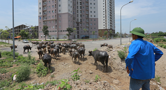 A farmer herds his buffaloes through a farming area that has been revoked for industrial projects in Yen Nghia Commune, Ha Dong District of Hanoi in 2018. Photo by VnExpress/Giang Huy