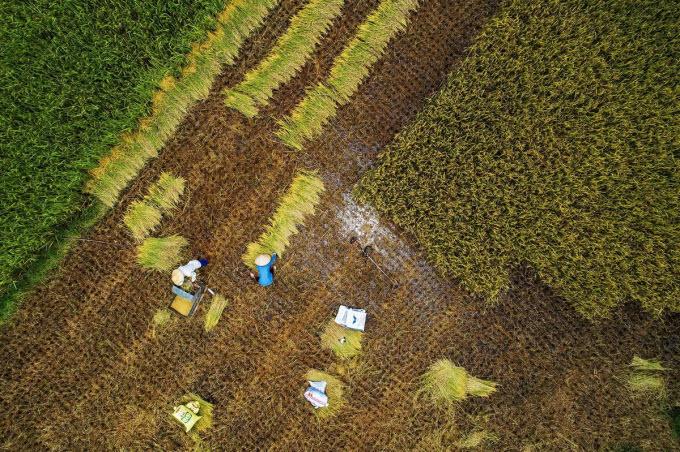 Northern Vietnam valley unrolls its golden carpet - 2