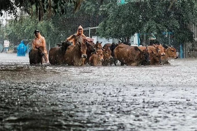 Farmers and their cows go home on a flooded street in Phu Quoc. Photo by Riko.
