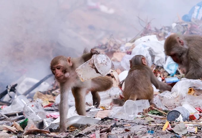 Wild monkeys in central Vietnam scour at trash dumps for food