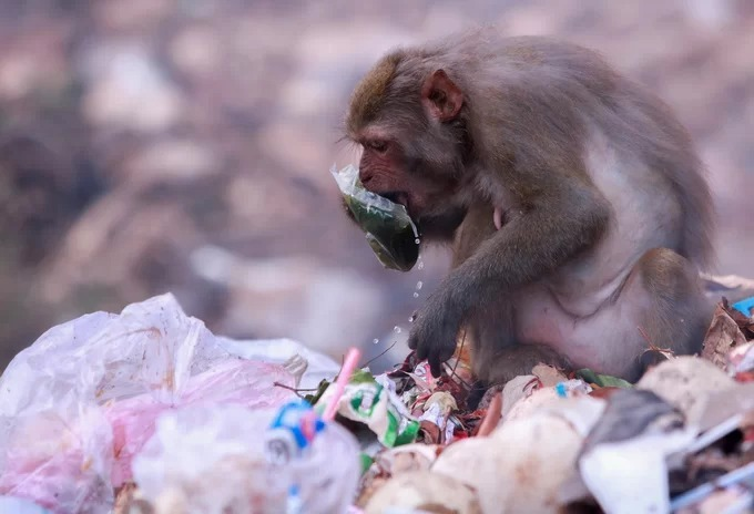 Wild monkeys in central Vietnam scour at trash dumps for food - 3