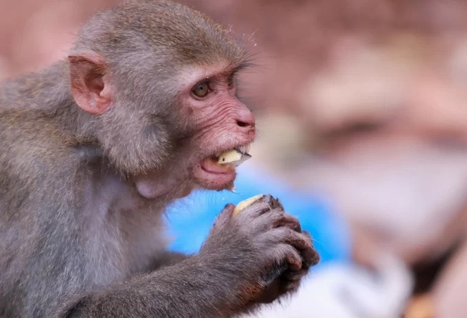 Wild monkeys in central Vietnam scour at trash dumps for food - 4
