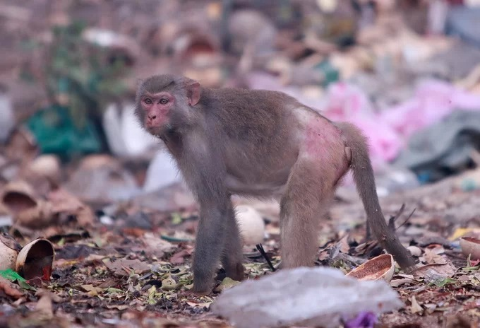 Wild monkeys in central Vietnam scour at trash dumps for food - 5