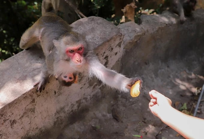 Wild monkeys in central Vietnam scour at trash dumps for food - 7