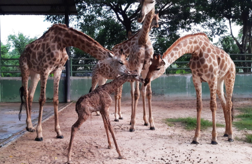 Newly born baby giraffe (middle) at Vuon Xoai ecological tourist area.