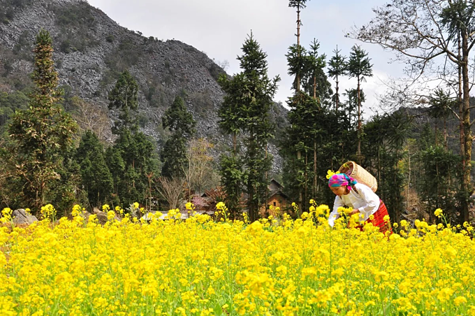 An ethnic minority woman picks yellow mustard flowers in Lao Xa Village, Dong Van District, Ha Giang. Photo by VnExpress/Xu Kien.