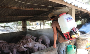 African swine fever hits all localities in Vietnam