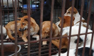 Should dogs be in their hearts or freezers? Vietnamese are divided
