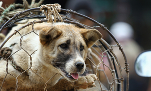 As Vietnam's middle class expands, dog meat consumption shrinks