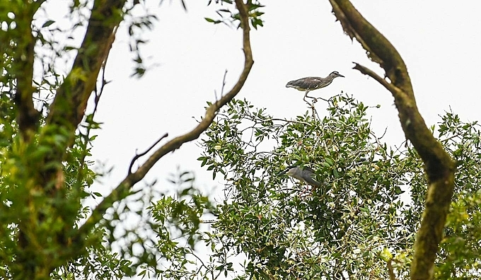 A bittern perches on top of cajecut tree.During the tour, visitors will travel by motorboat and switch to rowing boat when reaching the heart of the forest. Visitors can spot many birds foraging, nesting and hearing their chirps throughout the tour since the forest is home to about 70 species of birds including storks and bitterns.