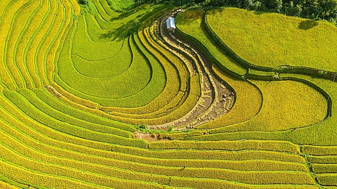 Birds-eye view shots show Yen Bai blooms with vast golden terraced fields - 4