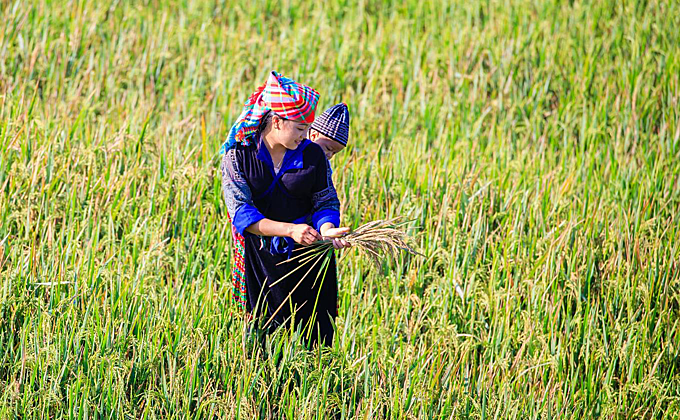 A mother carrying her baby on a rice field.Photographers often ask or hire locals to pose for a photo amidst the golden season.