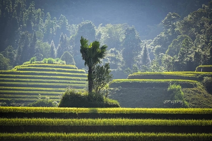 Photographer Pham Hoang Cuong suggested the hunt for best shots of the ripe rice fields to go from Thong Nguyen, Nam Khoa, Ta Su Choong to Ban Phung commune.
