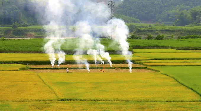 Farmers burn straw in paddy fields after harvested to be used as crop fertilizer.
