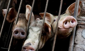Imported pork floods Vietnam after swine flu cull