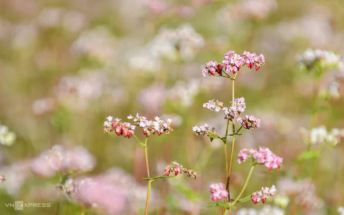 In October and November every year vast fields of buckwheat flowers bloom in white and pastel pink all over