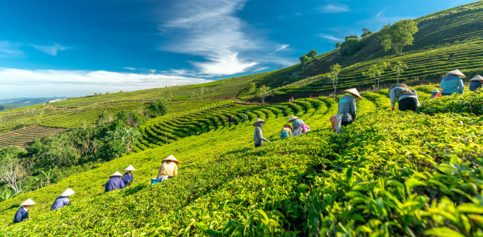 People work on a tea farm in Da Lat. Photo by Shutterstock/Huy Thoai.