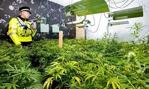 3 Vietnamese children rescued from UK cannabis farm