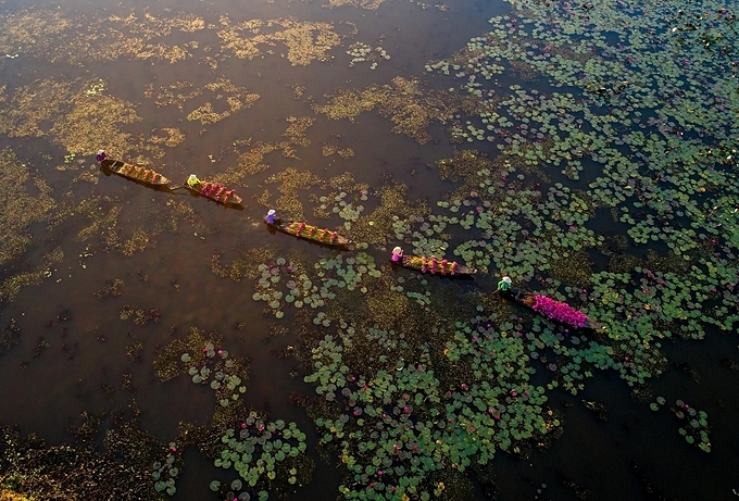 Women wearing conical hats row their boats along a pond to harvest the flowers. The sight is impossible to resist for photography enthusiasts. Photographers flock to ponds, canals and flooded fields to hunt for photos.