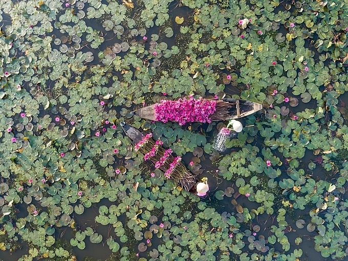 Water lilies are wild plants and do not need planting or caring. During the rainy season, when the canals and rice fields overflow, white and pink water-lilies are in full bloom.