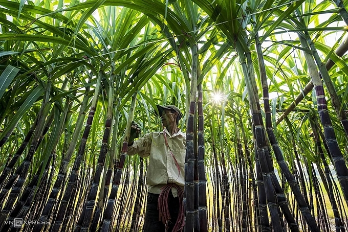 Minh, owner of four sugar cane fields, is peeling the leaves and strengthening the trunks with ligaments to prevent the tree from falling. He said the sugarcane this year is coming out great, so people are excited that they would make more money from the tree during Tet.