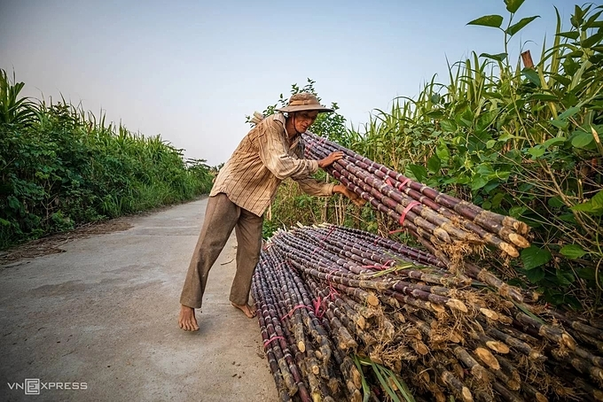 A farmer stacks bundles of sugar cane which are to be picked up by the buyers with trucks. The sugarcane has an eye-catching color while its taste has a delicate sweetness.