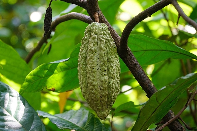 Cacao tree is between 4-8 m high and grows well under the shade of other trees so it is often intercropped under trees like coconut and rubber. Ripe cacao fruits are either yellow, orange, or red.Without cacao beans, comfort but nutritious food that are favorites to many won't exist, including chocolate, cocoa powder, cocoa butter.