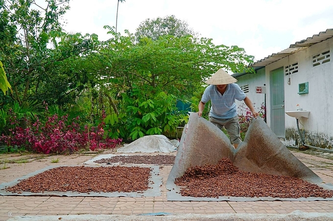 Many families with a cacao planting business in the Mekong Delta are losing interest in the tree, as its output and selling prices are not stable. But Quans family doesn't think they will stop the business anytime soon.Although the quantity produced for sale is not much, the job helps my familys finances, Quan said while gathering the dried beans.
