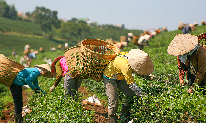 Women harvest tea in central highlands Lam Dong Province. Photo by Shutterstock/Hentry Tran.