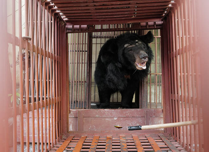 The bear moves from its old cage into another.