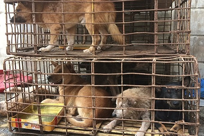 Several stolen dogs are seized by Vietnamese authorities. Photo by VnExpress/Hoang Thao.