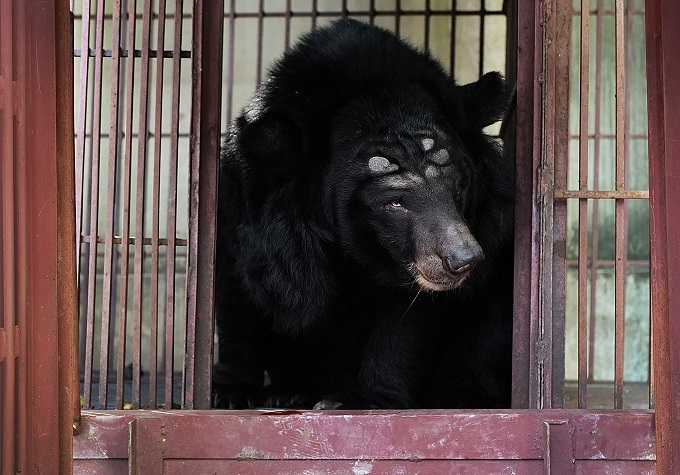 The bear will be taken to the rescue center in the Tam Dao National Park in Vinh Phuc Province, one and a half hours north of Hanoi. It will undergo a 45-day quarantine period and medical treatment before being integrated into the parks open area.