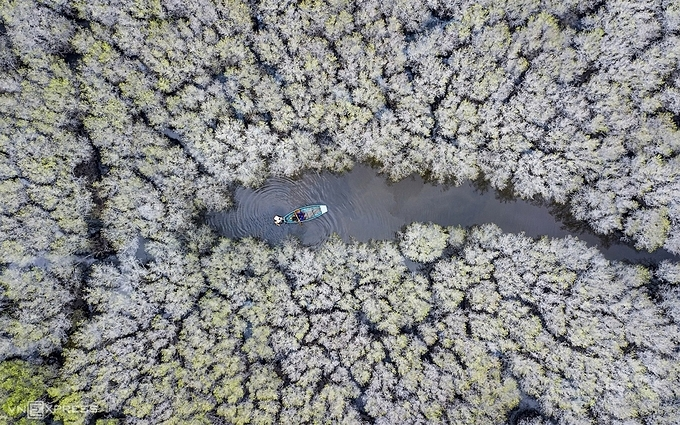 Bau Ca Cai mangrove forest in Binh Son district, about 40 km northeast of Quang Ngai Province is home to 50 ha of  spondias pinnata trees. In late autumn and early winter, the forest looks different when the tree has its leaves completely removed, leaving only the white trunk and branches.