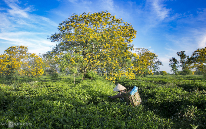The flowering tree is planted all over the country, including tourist hotspots like Nha Trang, Da Lat, Da Nang and Saigon, but they are said to be at their best shape and form in Gia Lai.