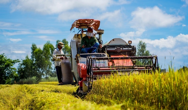 Farmers harvest paddy on a field in An Giang Province in the Mekong Delta of Vietnam, June, 2019. Photo by VnExpress/Huynh Van Thai